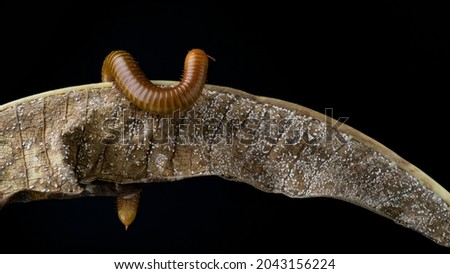 Millipede Asia on decomposing mango leaf showing its numerus legs and segmented body Millipedes are from the animal group arthropods Royalty-Free Stock Photo #2043156224