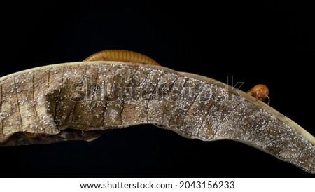 Millipede Asia on decomposing mango leaf showing its numerus legs and segmented body Millipedes are from the animal group arthropods Royalty-Free Stock Photo #2043156233