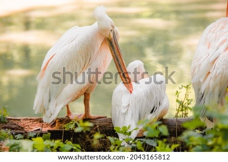 The great white pelican (Pelecanus onocrotalus) aka the eastern white pelican, rosy pelican or white pelican. Wild birds in nature. The inhabitants of the zoo. Birdwatching. Royalty-Free Stock Photo #2043165812