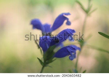 Iris laevigata known as Japanese iris,rabbit-ear iris, or shallow-flowered iris