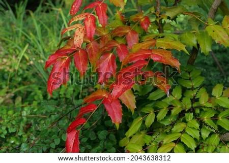 Mahonia japonica autumn winter foliage - evergreen garden shrub winter flowering Royalty-Free Stock Photo #2043638312