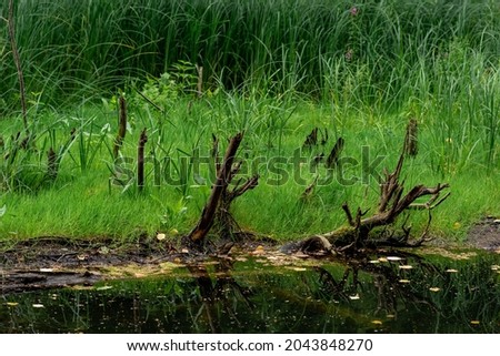bog shore with water, grass and snags Royalty-Free Stock Photo #2043848270