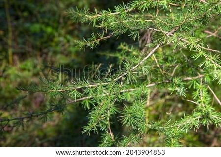 Larch is a genus of woody plants of the Pine family. Royalty-Free Stock Photo #2043904853