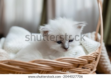 Closeup of the snout of a British shorthair kitten of silver color sleeping in a wicker basket. Siberian nevsky masquerade cat color point. Pedigree pet. High quality photo Royalty-Free Stock Photo #2044027706