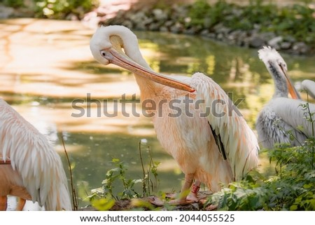 The great white pelican (Pelecanus onocrotalus) aka the eastern white pelican, rosy pelican or white pelican. Wild birds in nature. The inhabitants of the zoo. Birdwatching. Royalty-Free Stock Photo #2044055525