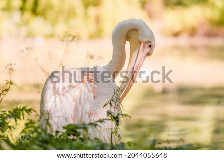 The great white pelican (Pelecanus onocrotalus) aka the eastern white pelican, rosy pelican or white pelican. Wild birds in nature. The inhabitants of the zoo. Birdwatching. Royalty-Free Stock Photo #2044055648