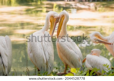 The great white pelican (Pelecanus onocrotalus) aka the eastern white pelican, rosy pelican or white pelican. Wild birds in nature. The inhabitants of the zoo. Birdwatching. Royalty-Free Stock Photo #2044528778
