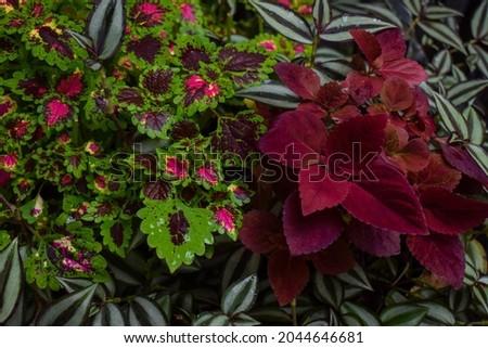 fresh colorful coleus shrubs in the garden  Royalty-Free Stock Photo #2044646681