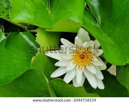 Picture of white lotus among green lotus leaves
