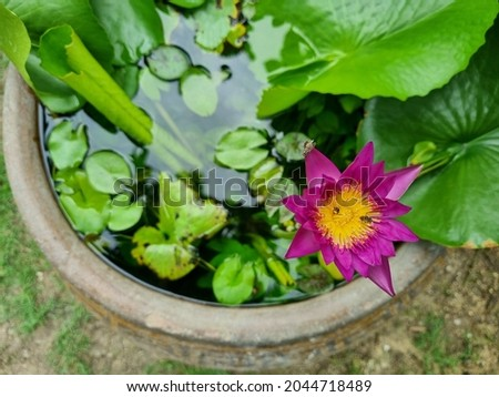 Picture of a pink lotus and lotus leaf planted in a container, top view.