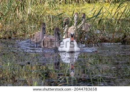 A Mute Swan leading its Cygnets through a reed bed in a single file format.