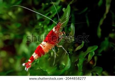 Shrimp Cardina sp.Crystal Red Royalty-Free Stock Photo #2044858277