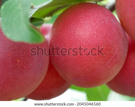 Large ripe cherry plum, close-up photo. Ripe berries. Royalty-Free Stock Photo #2045046560