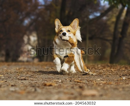 cute welsh corgi dog running outdoors