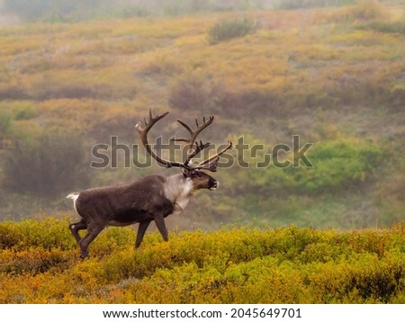 Male caribou with huge antlers in rut mating season on colorful autumn tundra in Denali National Park in Alaska Royalty-Free Stock Photo #2045649701