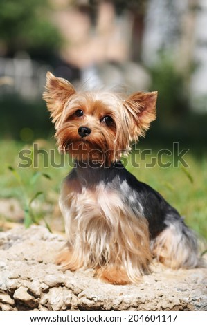 Yorkshire terrier portrait sits and lookinga at camera #204604147