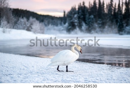 A lonely white swan by a winter river. White swan on snow. Lonely white swan on snowy river shore. White swan in winter snow scene Royalty-Free Stock Photo #2046258530