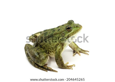 green spotted frog on white background  #204645265