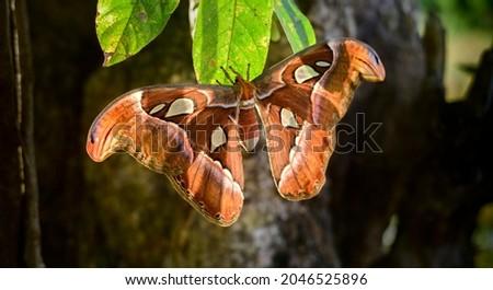 Beautiful Atlas moth hangs in leaf, snakehead butterfly wings pattern help scare of predators. Royalty-Free Stock Photo #2046525896