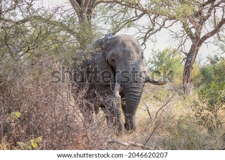 Old secluded tusker in Kruger National Park Royalty-Free Stock Photo #2046620207