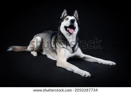 Studio portrait blue eyes pedigreed breed canine siberian husky black background dog face  Royalty-Free Stock Photo #2050287734