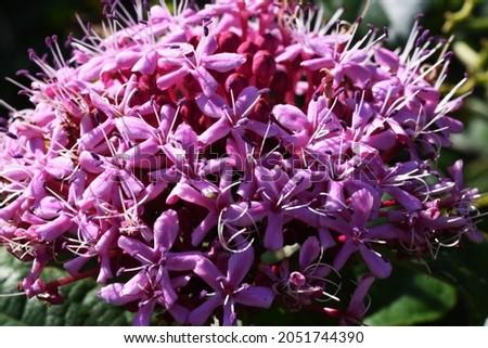 Rose glory bower flowers. Ramiaceae deciduous shrub. Royalty-Free Stock Photo #2051744390