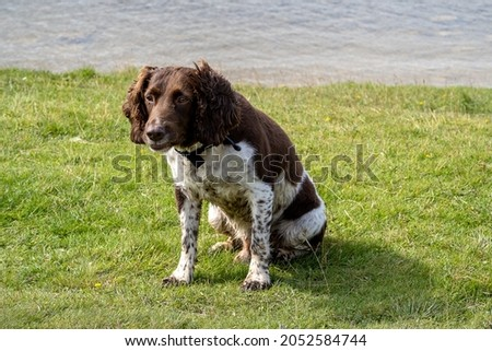 Cocker Spaniels are dogs belonging to two breeds of the spaniel dog type: the American Cocker Spaniel and the English Cocker Spaniel, both of which are commonly called simply Cocker Spaniel  Royalty-Free Stock Photo #2052584744