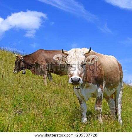 Cows on a summer pasture #205337728