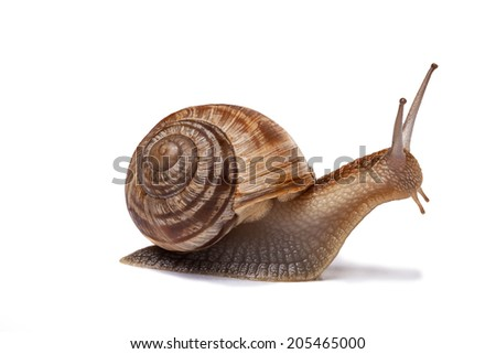 Snail isolated on white Royalty-Free Stock Photo #205465000