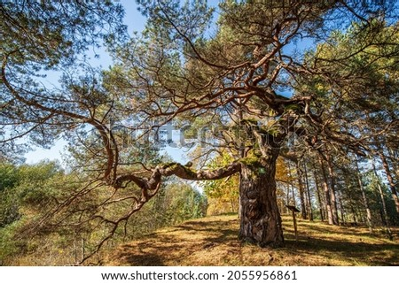 Large pine with very curved branches in sunny autumn day, Latvia. Royalty-Free Stock Photo #2055956861