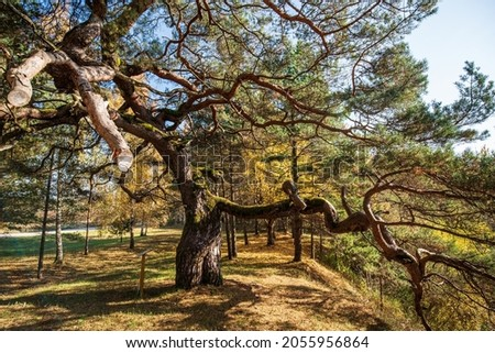 Large pine with very curved branches in sunny autumn day, Latvia. Royalty-Free Stock Photo #2055956864