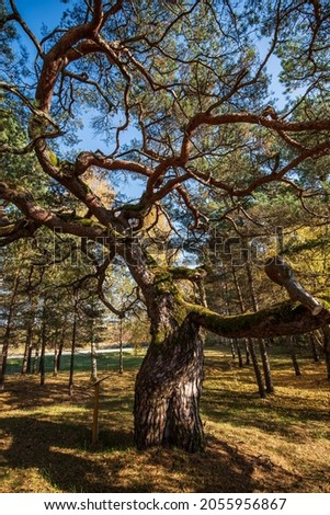 Large pine with very curved branches in sunny autumn day, Latvia. Royalty-Free Stock Photo #2055956867