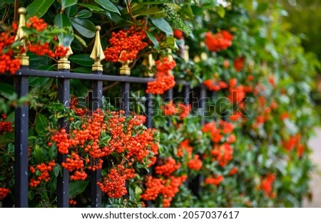 Hawthorn hedge with red hawthorn berries and black railings. This hawthorn hedge forms the boundary to a front garden and the red berries make attractive screening. Shallow depth of field. Royalty-Free Stock Photo #2057037617