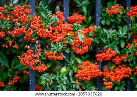 Hawthorn hedge with red hawthorn berries and black railings. This hawthorn hedge forms the boundary to a front garden and the red berries make attractive screening. Shallow depth of field. Royalty-Free Stock Photo #2057037620