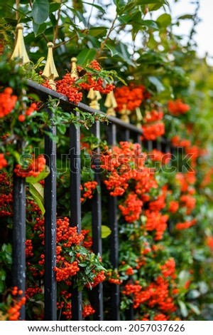 Hawthorn hedge with red hawthorn berries and black railings. This hawthorn hedge forms the boundary to a front garden and the red berries make attractive screening. Shallow depth of field. Royalty-Free Stock Photo #2057037626