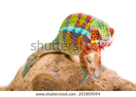Picture of a chameleon on a white background #205809094