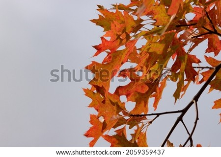 The northern red oak (Quercus rubra) is a very colorful tree in autumn. Very indented red and orange leaves. Details of a branch on blue sky background. Beautiful light of a sunny October day Royalty-Free Stock Photo #2059359437