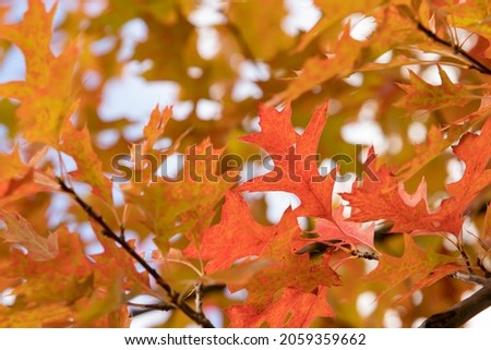 The northern red oak (Quercus rubra) is a very colorful tree in autumn. Very indented red and orange leaves. Details of a branch on blue sky background. Beautiful light of a sunny October day Royalty-Free Stock Photo #2059359662