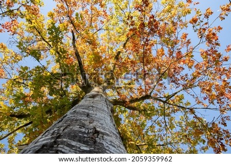 The northern red oak (Quercus rubra) is a very colorful tree in autumn. Very indented red and orange leaves. Details of a branch on blue sky background. Beautiful light of a sunny October day Royalty-Free Stock Photo #2059359962