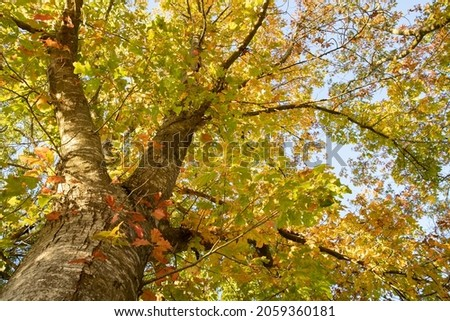 The northern red oak (Quercus rubra) is a very colorful tree in autumn. Very indented red and orange leaves. Details of a branch on blue sky background. Beautiful light of a sunny October day Royalty-Free Stock Photo #2059360181