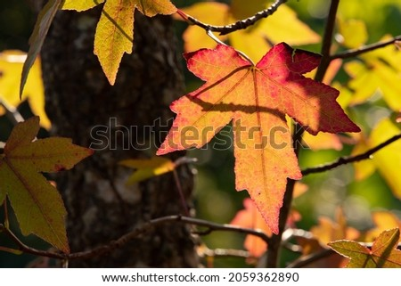 Sweetgum (Liquidambar styraciflua) is a very colorful tree in autumn. Very indented red and orange leaves. Details of a branch with beautiful light of a sunny October day in a French forest Royalty-Free Stock Photo #2059362890