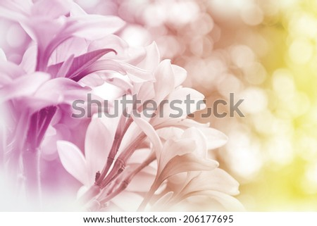 Closed-up of Plumeria spp. (frangipani flowers, Frangipani, Pagoda tree or Temple tree) with Soft Focus Color Filtered as Background. #206177695