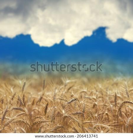 Wheat field #206413741