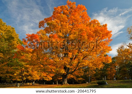 A beautiful tree in a cemetery in Massachusetts during autumn, showing all its fall colors. #20641795
