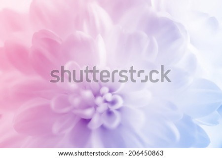 white Chrysanthemums  out of focus background      #206450863