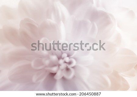 white Chrysanthemums  out of focus background #206450887