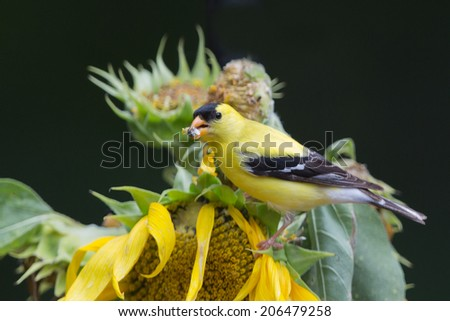 Goldfinch on sunflower with seed in mouth #206479258