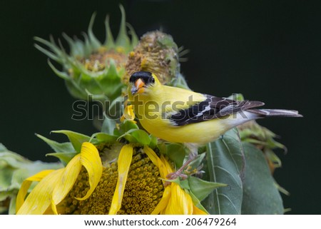 male goldfinch on sunflower with seed in mouth. #206479264