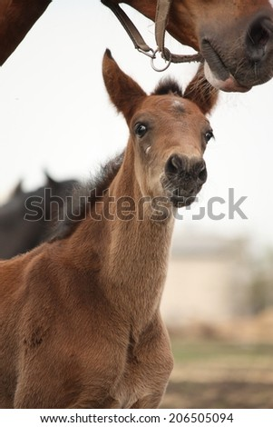 Brown cute foal portrait with his mother at the pasture #206505094