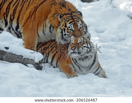Amur Tiger in the woods in winter #206526487